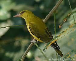 [photo: orientalbirdimages.org]
