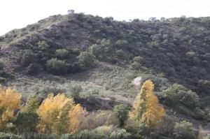 11 Nov poplars in nov - photo David 15-11-09