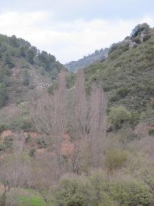 3 March poplars in valley bottom1 26-3-13