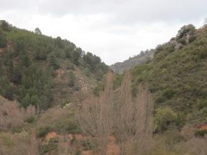 3 March poplars in valley bottom2 26-3-13