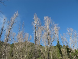 3 March poplars1 15-3-13