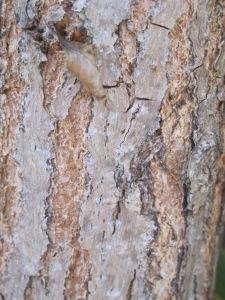 8 August bark - tennis court tree 27-8-13