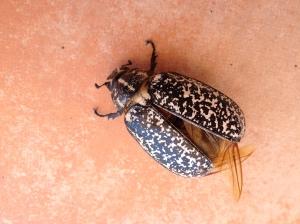 beetle2 23-7-14