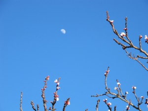 cherry blossom and moon2 10-3-14