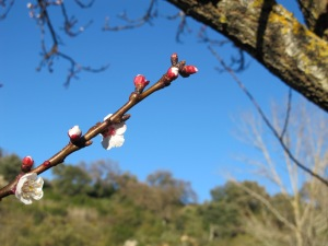 cherry blossom bud - close-up1 10-3-14