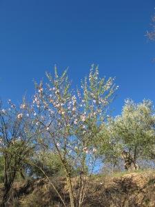 cherry blossom1 10-3-14
