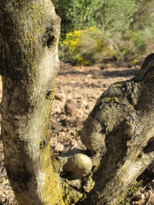 olive trees pruned4 15-3-13 (3)