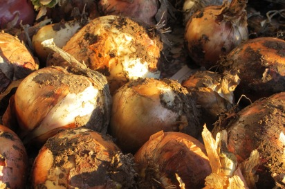 onions 10-11-11 (2)