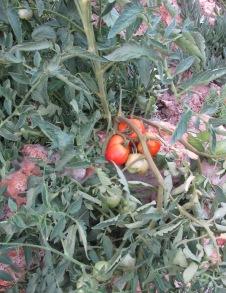 tomatoes 24-7-11 (2)