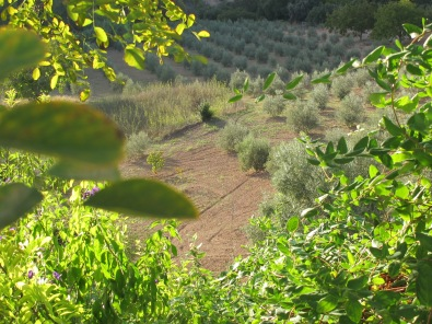 the olive grove 5-10-14