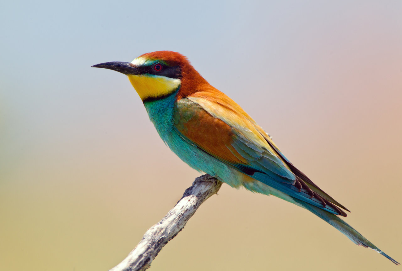 bird song bee eater notes on a spanish valley