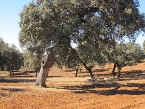 oak field1 10-10-14