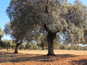 oak field4 10-10-14