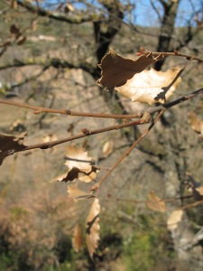 a few leaves, hanging on2 28-1-15