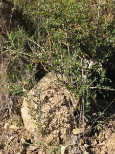 fresh sprigs of olive growth 28-1-15