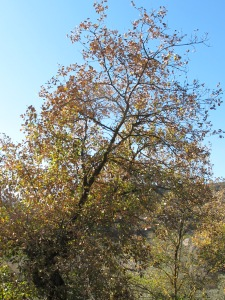 pale golden tree 28-1-15