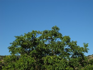 the big walnut tree seen from the terrace 7-8-13