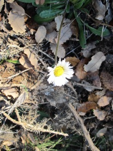 white daisy wildflower 28-1-15