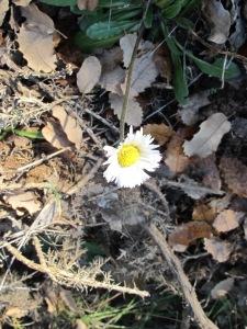 white daisy wildflower 28-1-15