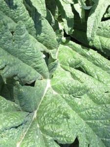 artichoke - 1st year healthy plant 18-4-13 (2)