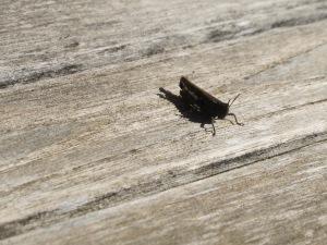 black grasshopper1 28-1-15