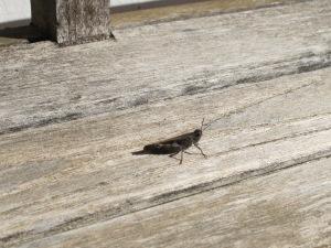 black grasshopper3 28-1-15