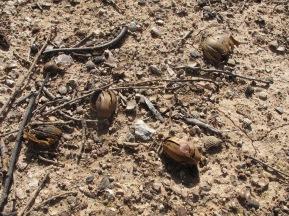 broken acorns underfoot 11-2-15