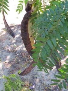carob tree1 10-10-14