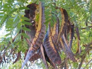 carob tree2 10-10-14