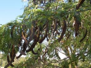 carob tree3 10-10-14