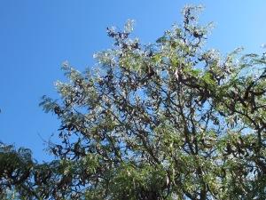 carob tree4 10-10-14
