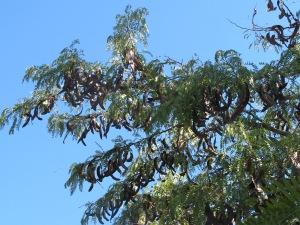 carob tree5 10-10-14