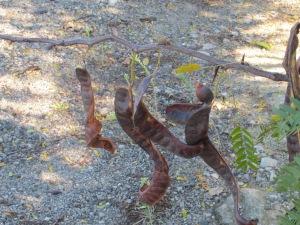 carob tree6 10-10-14