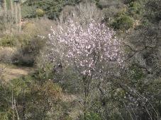 cherry blossom 11-2-15