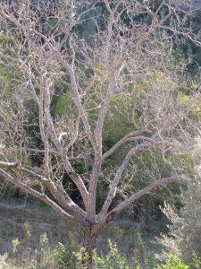 dead walnut tree, to cut down1 5-10-14