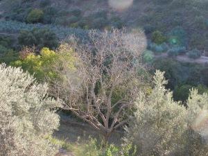 dead walnut tree, to cut down2 5-10-14