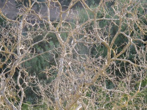 dead walnut tree, to cut down3 5-10-14