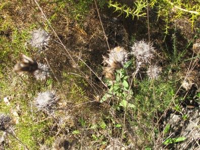 dried flowerhead1 28-1-15