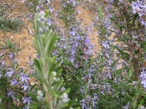 flowering rosemary 9-2-15