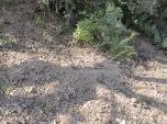 freshly dug earth beneath tree7 11-2-15