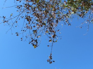 holm oak leaves, above 28-1-15