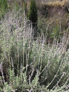 lavender 28-1-15