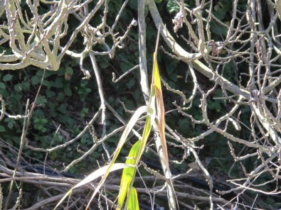 reed amongst the fig branches 28-1-15