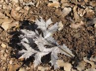 silver thistle leaf 28-1-15