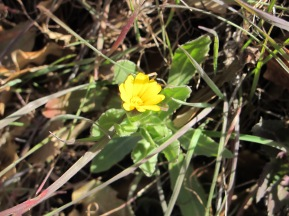 the first yellow wildflower I've seen in the valley this spring 11-2-15