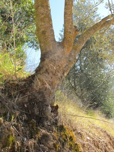 the olive tree above1 28-1-15