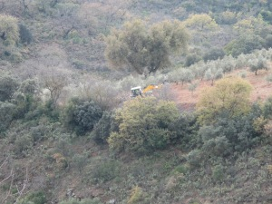 tractor in olive grove 9-2-15