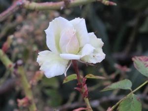 white rose 9-2-15