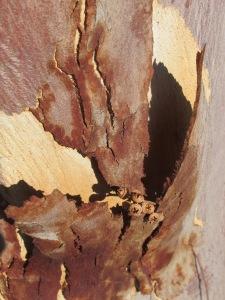 #7 peeling bark of eucalyptus tree 10-10-14