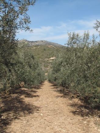 a line of juaquin's olives1 11-2-15